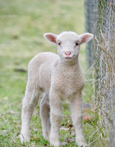 depositphotos_1149109-Cute-baby-lamb