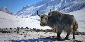 khunu-himalayan-yak